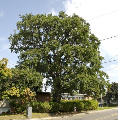 Bronwyn Chester identified this 200 year old Bur Oak at the corner of Wavell and Melling. It is possibly the oldest of its kind on the island. Will it be next on the chopping block?