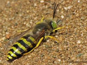 bembix-americana-sand-wasp-9a1